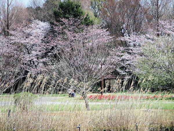 13 景色 21.3.26 🌸花の丘公園  (32)