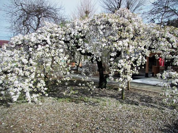 2 21.3.29 🌸青葉園水辺の里、三橋運動公園、氷川神社  (38)