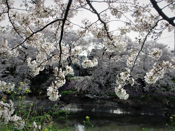 4 21.3.29 🌸青葉園水辺の里、三橋運動公園、氷川神社  (77)