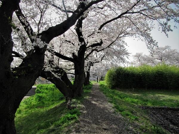 5 21.3.29 🌸青葉園水辺の里、三橋運動公園、氷川神社  (100)