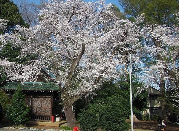 6 21.3.29 🌸青葉園水辺の里、三橋運動公園、氷川神社  (135)