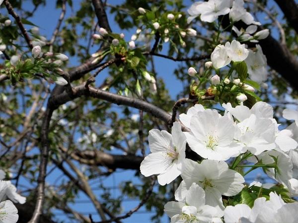 4 21.4.1 絵・椿。桜堂の🌸、映画「わが谷あ緑なりき」、「鐘の鳴る丘❶」  (144)