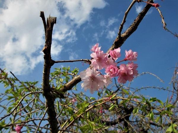 5 21.4.1 絵・椿。桜堂の🌸、映画「わが谷あ緑なりき」、「鐘の鳴る丘❶」  (154)