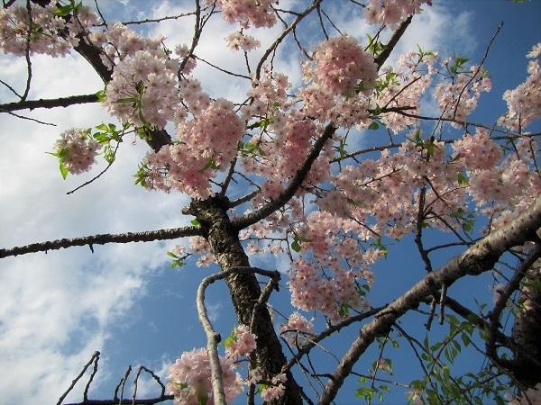 6 21.4.1 絵・椿。桜堂の🌸、映画「わが谷あ緑なりき」、「鐘の鳴る丘❶」  (175)