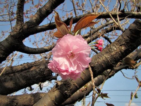 7 21.4.1 絵・椿。桜堂の🌸、映画「わが谷あ緑なりき」、「鐘の鳴る丘❶」  (185)