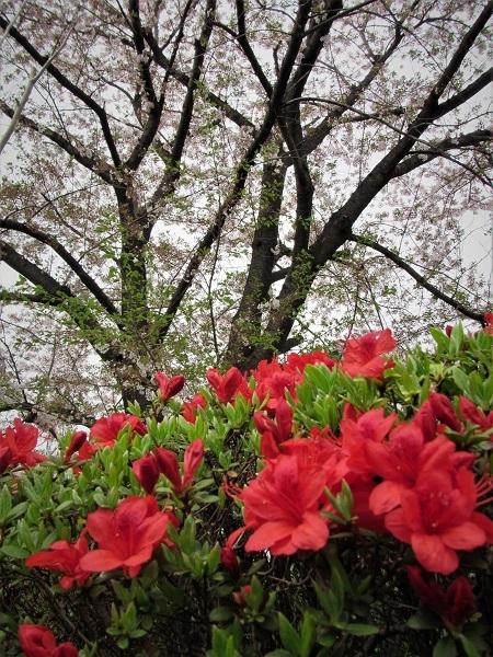 ❷21.4.2 花壇。サクラ。映画「たそがれのウイーン」維納   (38)