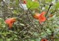 Rhabdothamnus solandri