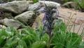 picrorhiza-kurroa-flower-img[1]