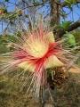 Careya arborea