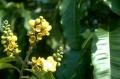 Bertholletia flower