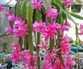 Disocactus-phyllanthoides.jpg