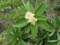 Foetidia_mauritiana_tree.jpg