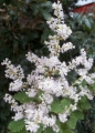 Tetradeniaflowers.jpg