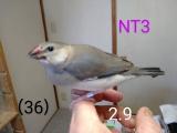 NT3〜白青足環