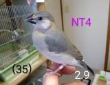 NT4〜ピンク足環