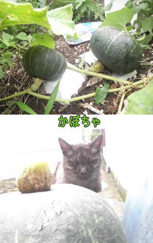 カボチャと猫