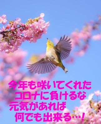0メジロと桜1
