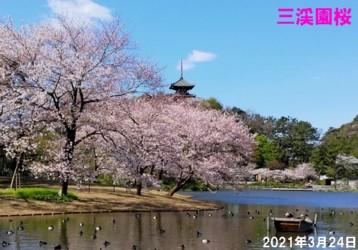 0-三渓園桜1