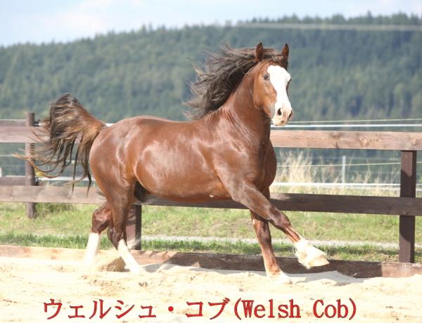 bfウェルシュ・コブ(Welsh Cob)