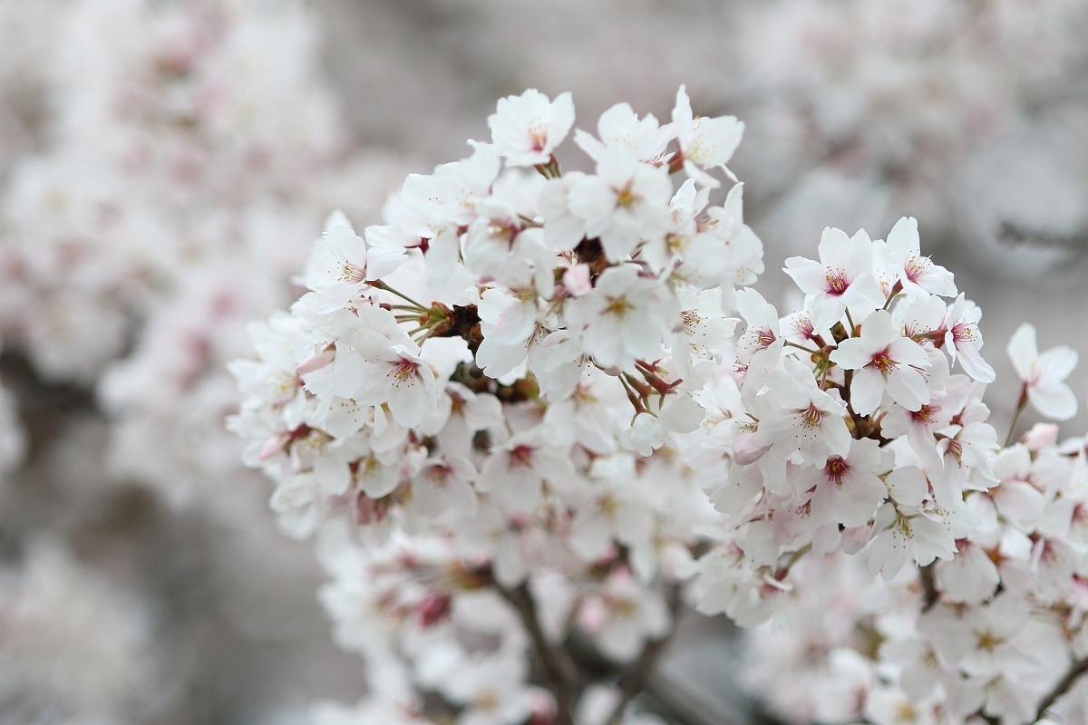 長浜・豊公園 桜花