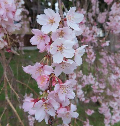 008満開しだれ桜