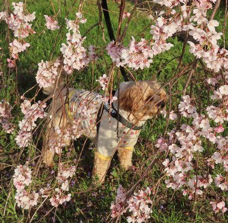 006しだれ桜と