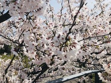 20210217桜春