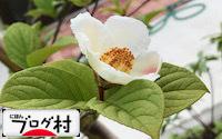 C-sharanoki_202006300726039c3.jpg