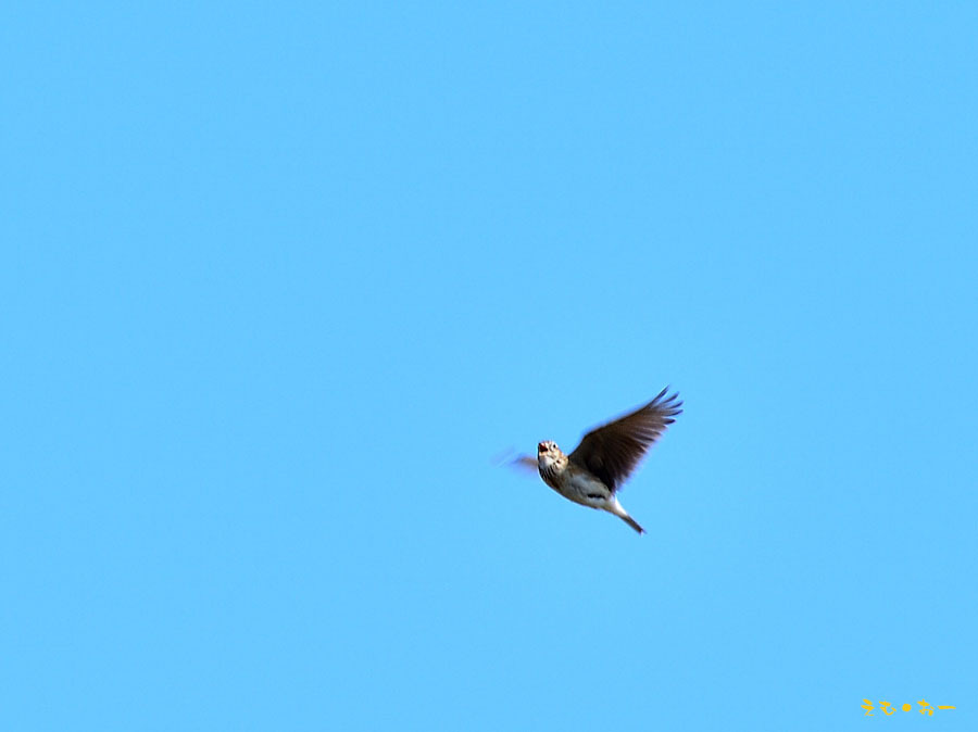 HIBARI-132b.jpg