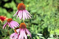 250px-Asteraceae_IMG_7674.jpg