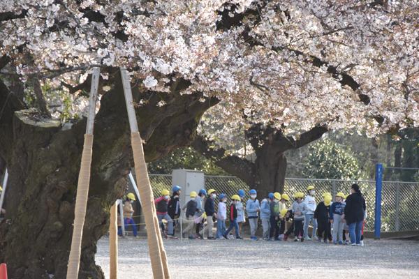 桜の周囲に児童クラブの子供たち=土浦・真鍋小校庭