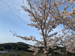 sakura山