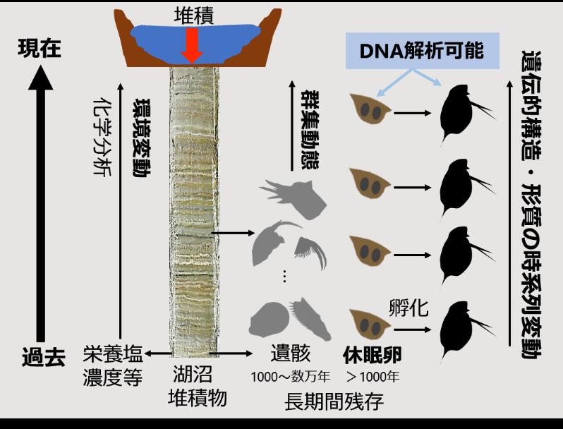 時を超えるミジンコ_湖沼堆積物でたどる、湖沼生態系の変動とミジンコの適応の歴史3