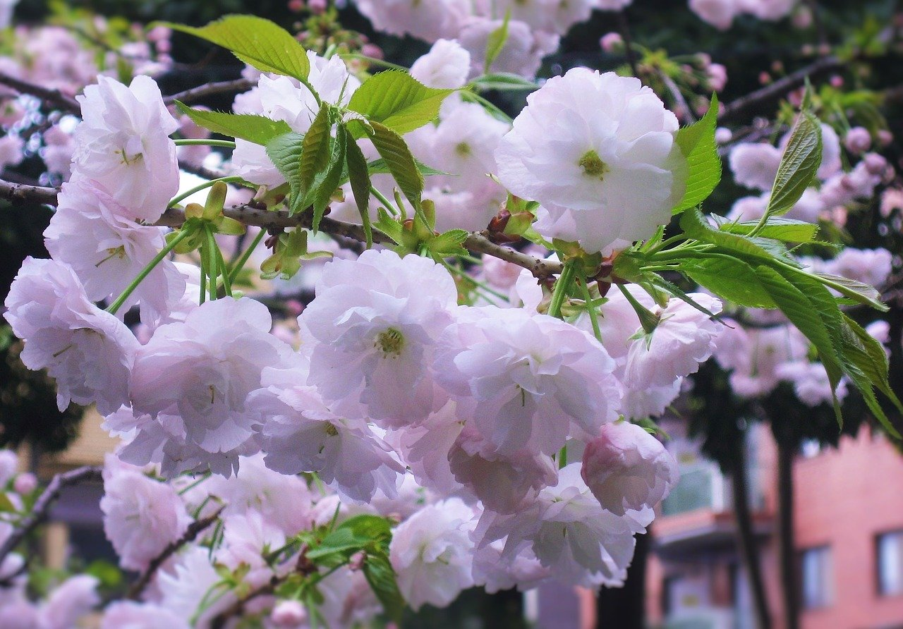 double-cherry-blossoms-1665452_1280.jpg