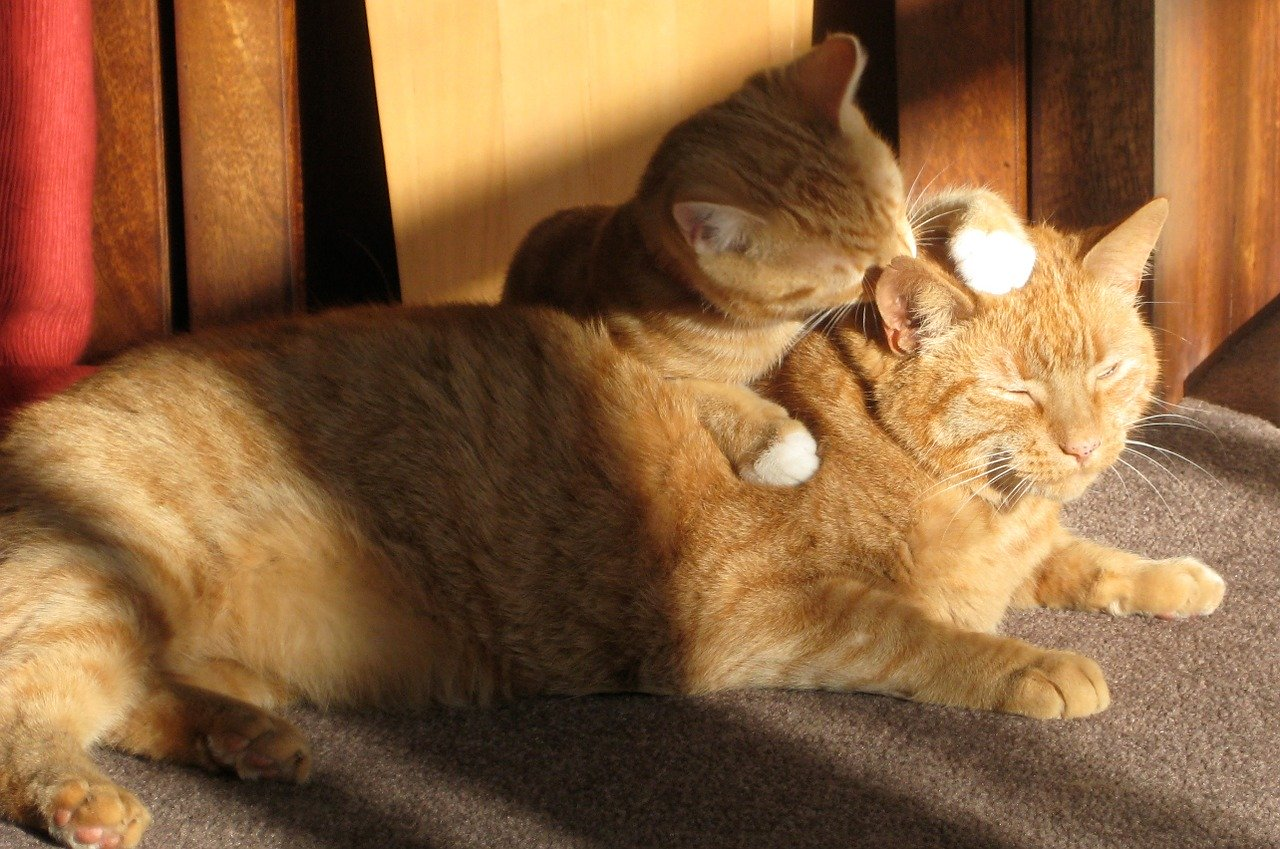 two-ginger-cats-650546_1280.jpg