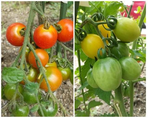 令和2年6月22日tomato
