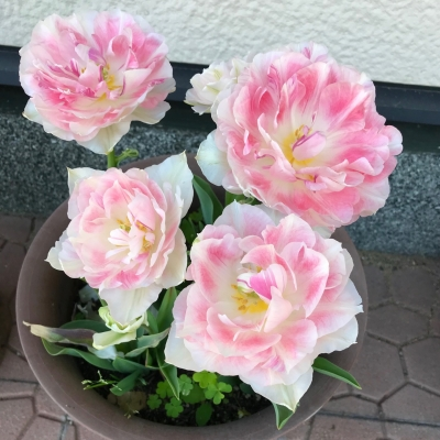 tulip20052.jpg