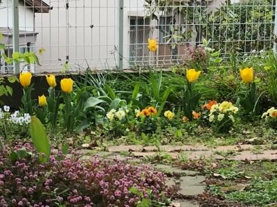 tulip20054.jpg