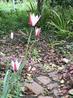 tulip20058.jpg