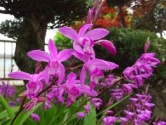 7シラン紫