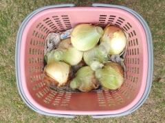 中生タマネギ収穫