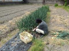 中生タマネギ収穫中