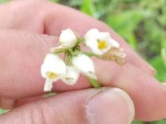 畑ニラの花