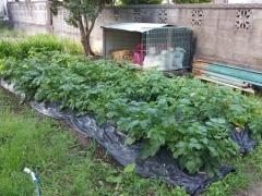 ジャガイモの成育