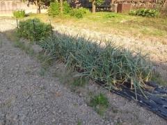 ソラマメ収穫と玉葱収穫