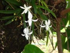 フウランの花