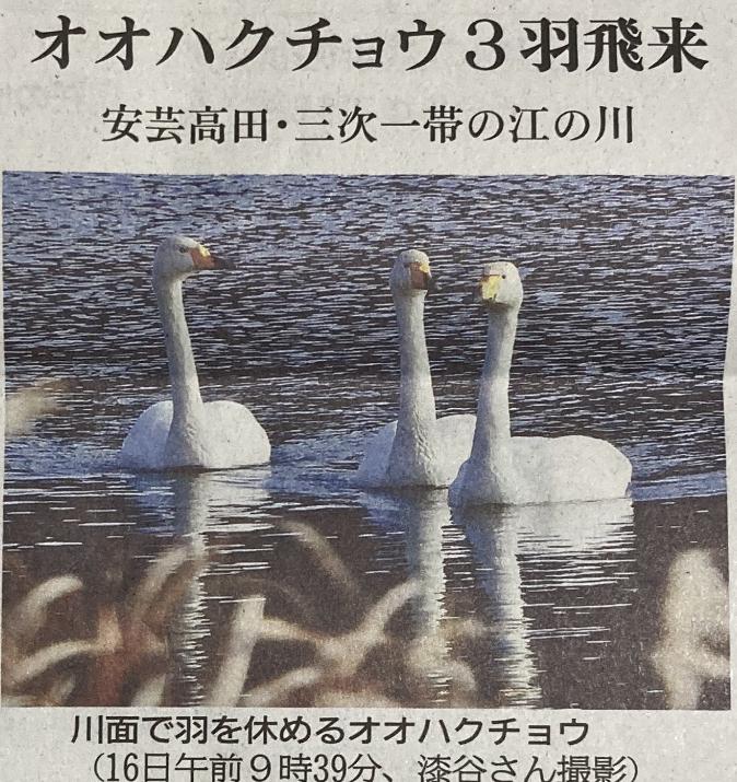 広島県 江の川 オオハクチョウ