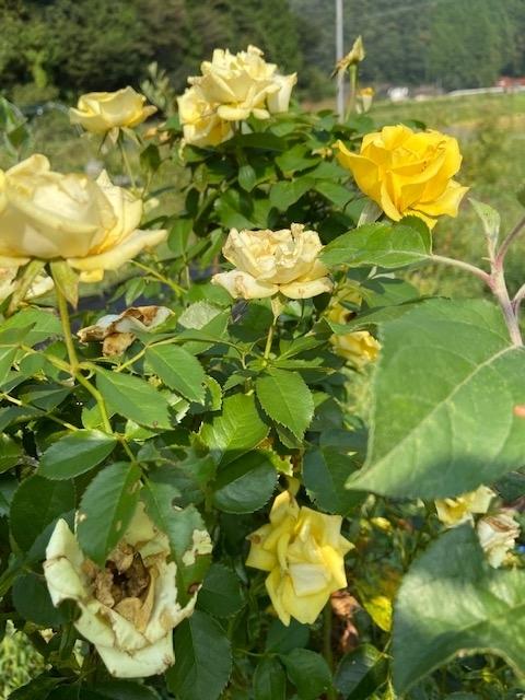 Rose blossom_all season