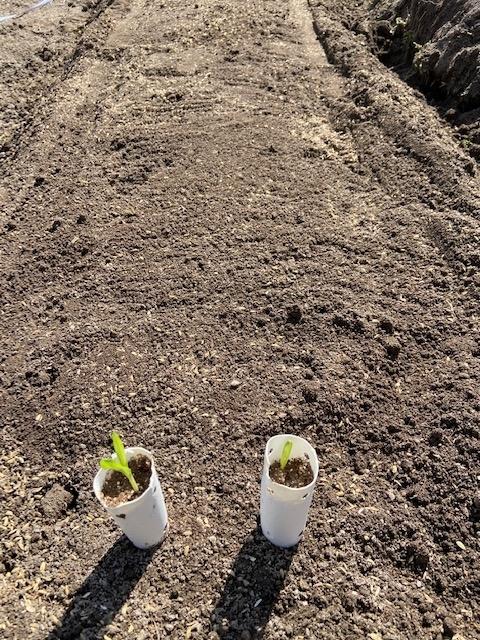 21 0223 14苗 可部菜園 定植