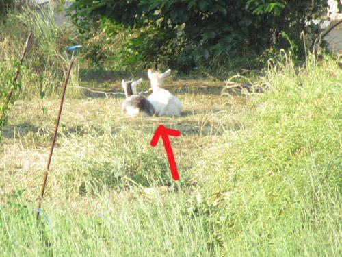 近所のヤギさん